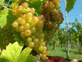 Festa Regionale dell'Uva a Vo' Euganeo